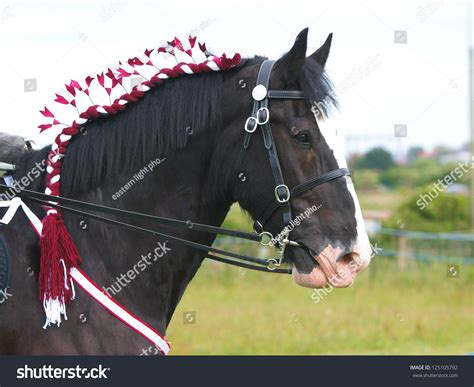 A Head Shot Of A Braided Up Shire Horse In A Bridle Stock