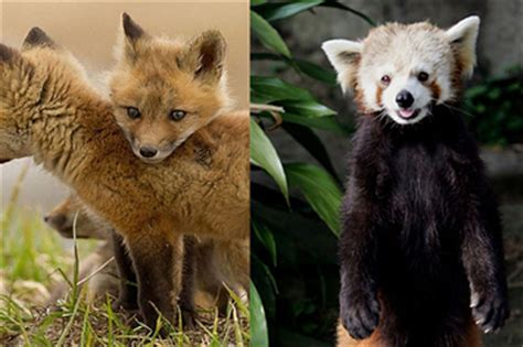 Animals March Madness, Round 2: Red Pandas Vs