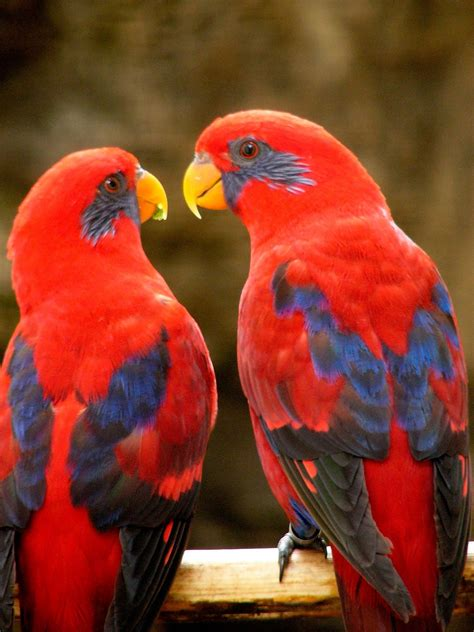 Blue-eared Lory - (Eos semilarvata) - Exotic birds | Pets