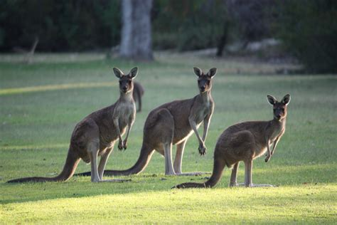 Comment: That's no kangaroo on the manuscript, so what is
