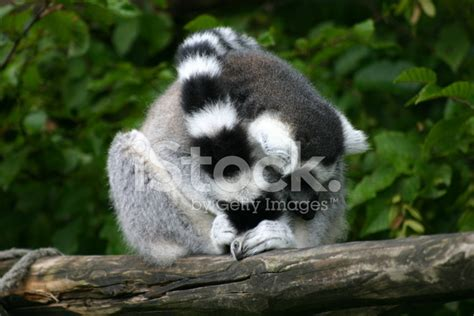 Ring Tailed Lemur Stock Photos - FreeImages